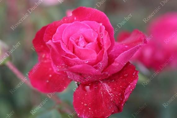 Rosier buisson Rose Romarin