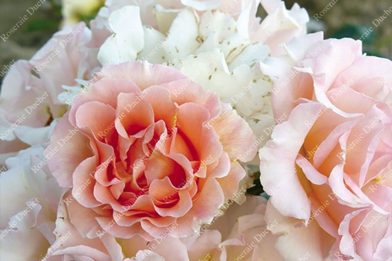 Shrub rose creation Jean de Luxembourg, roi de Boheme ®