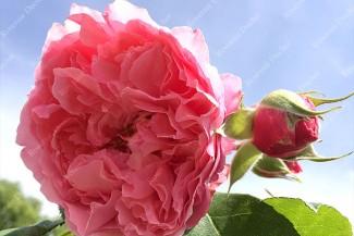 Rosier buisson création L'Art des Jardins ®