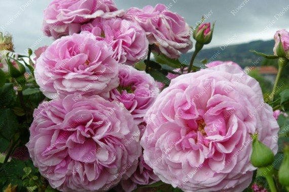 roseraie ducher rosier grimpant florence ducher. Black Bedroom Furniture Sets. Home Design Ideas