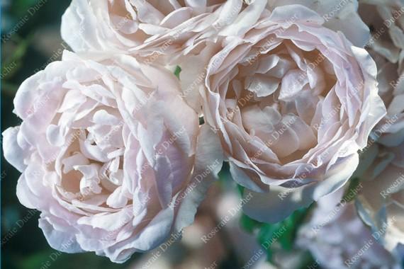 roseraie ducher rosier grimpant aim e vibert. Black Bedroom Furniture Sets. Home Design Ideas