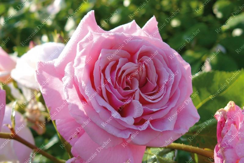 Fabuleux Roseraie Ducher - Notre collection de rosiers grimpants - Roseraie  NZ86