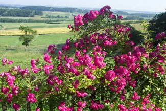 Climbing rose Bordeaux