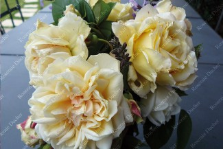 Climbing rose Bouquet d'Or