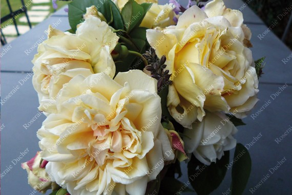 Rosier grimpant Bouquet d'Or