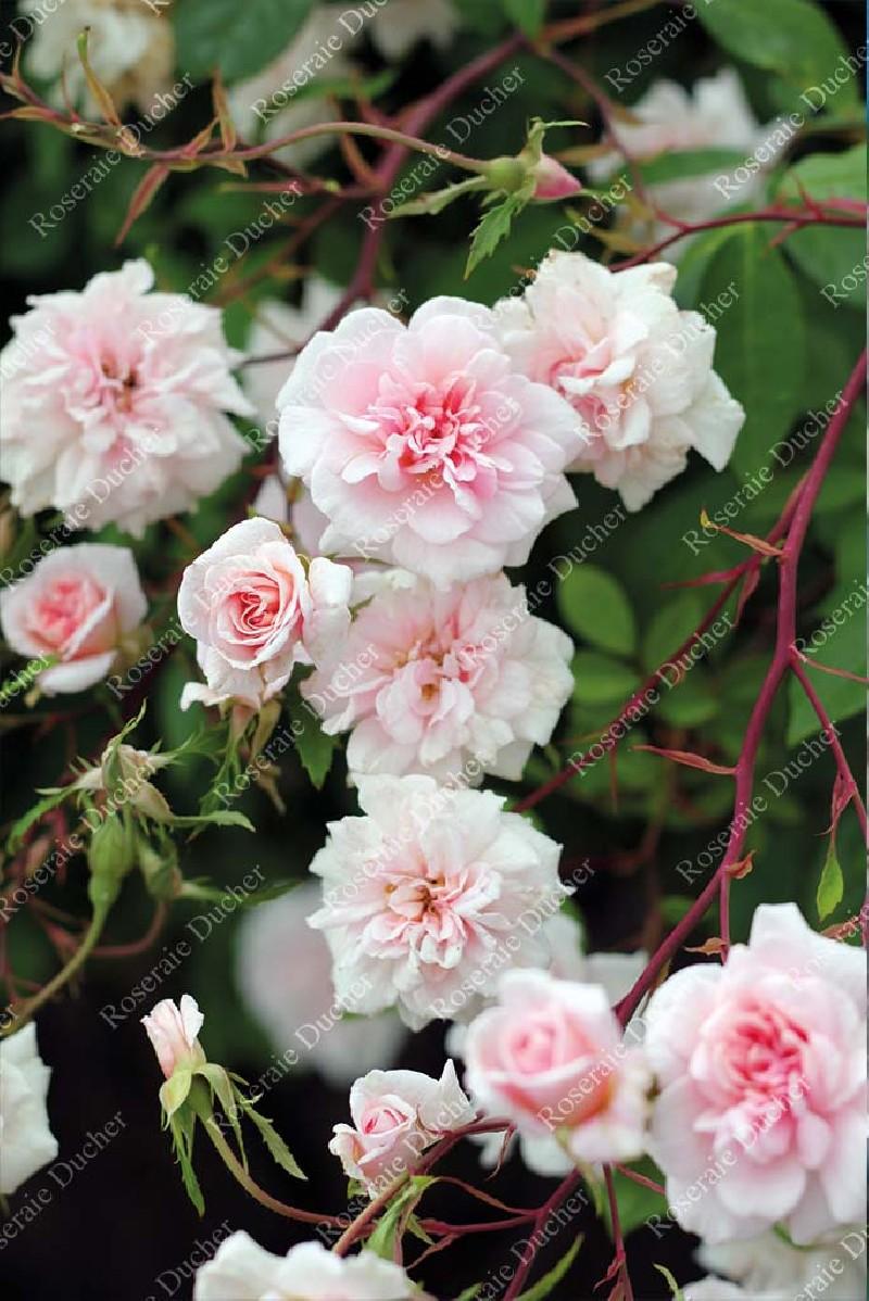 Roses Ducher Climbing Rose Mademoiselle Cecile Brunner Grimpant