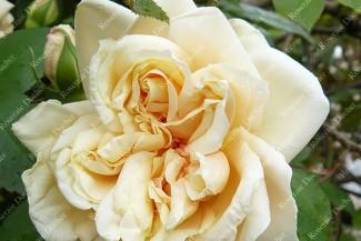 Climbing rose Gloire de Dijon