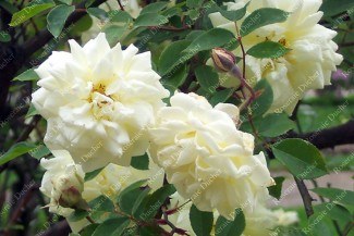 Climbing rose Madame Louis Henri