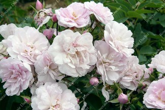 Climbing rose Narrow Water
