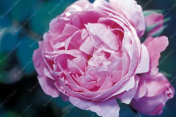 Shrub rose Archiduchesse Elisabeth d'Autriche