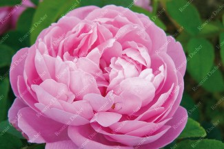 Shrub rose Baronne de Rothschild