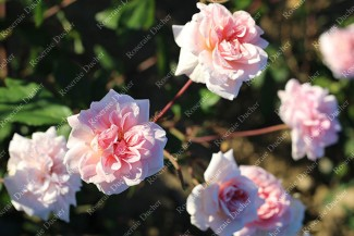 Rosier buisson Bloomfield Abundance