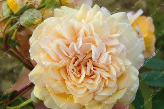 Rosier buisson Buff Beauty