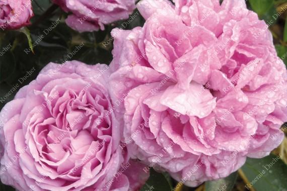 Shrub rose Catherine Soupert