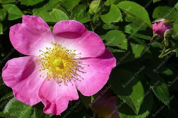 Shrub rose Complicata