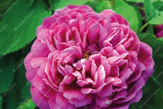 roseraie ducher rosier buisson comte de falloux. Black Bedroom Furniture Sets. Home Design Ideas