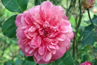 Rosier buisson Coralina