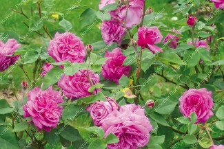 Shrub rose Cornelie