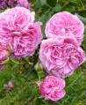 Shrub rose Coupe d'Hebe