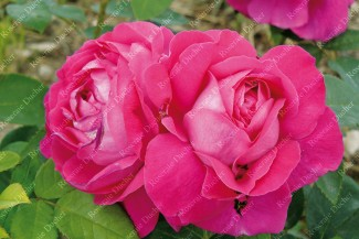 Shrub rose Dupuis Jamain