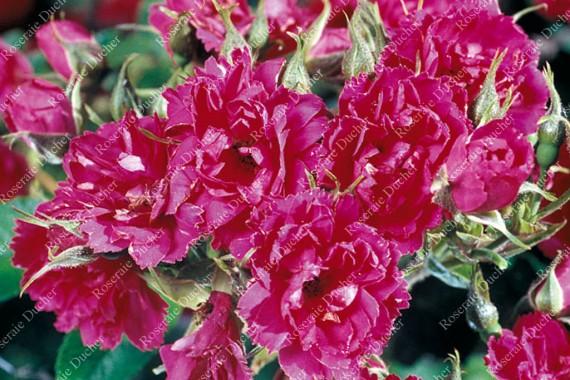 Rosier buisson F. J. Grootendorst