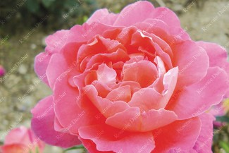 Shrub rose Jacques Latouche