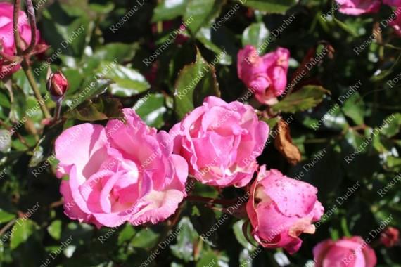 Shrub rose La Marne