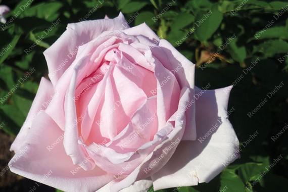 Shrub rose La Tosca