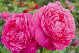 Shrub rose Le Havre