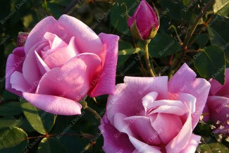 Shrub rose Le Vesuve
