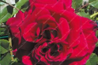 Shrub rose Lieutenant Chaure