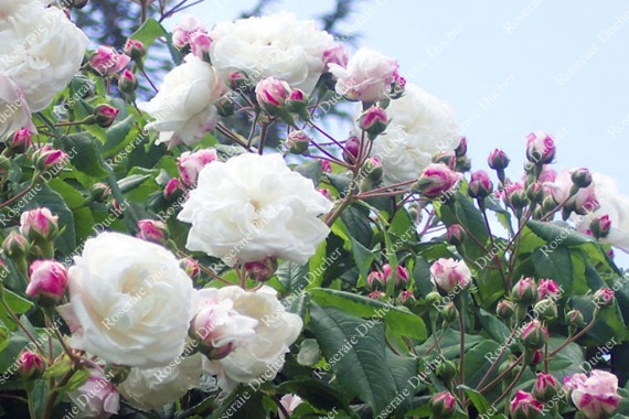 Rosier buisson Little White Pet