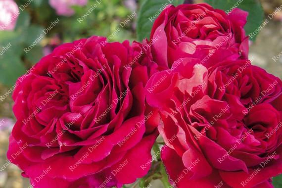 Shrub rose Lord Beaconfield