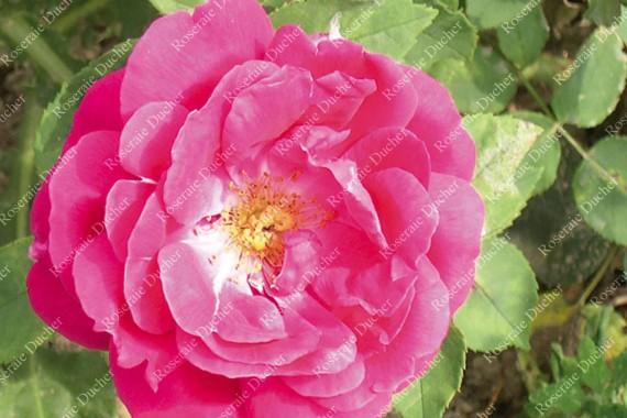 Shrub rose Louis Noisette