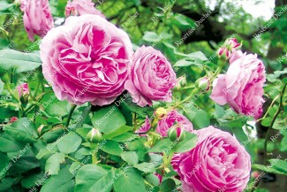 Shrub rose Louise Odier