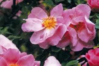 Rosier buisson Marguerite Hilling