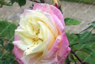 Shrub rose Marie Van Houtte