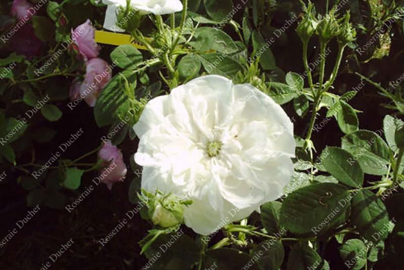roses ducher shrub rose madame hardy. Black Bedroom Furniture Sets. Home Design Ideas