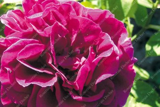 Shrub rose Prince Stirbey