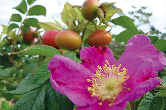 Rosier buisson Rosa Rugosa