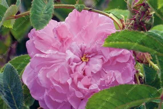 Rosier buisson Rosa Damascena 4 Saisons