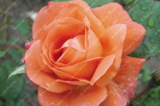 Shrub rose Westerland