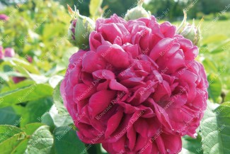 Shrub rose Baron de Gossard