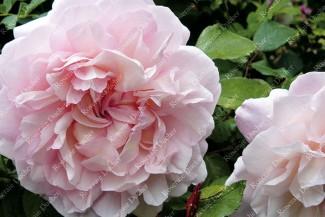 Shrub rose Gruss An Aachen