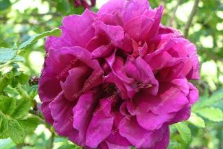 Shrub rose Hansa
