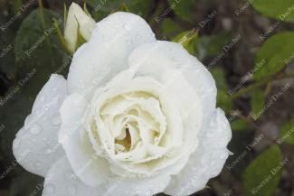 Shrub rose Iceberg