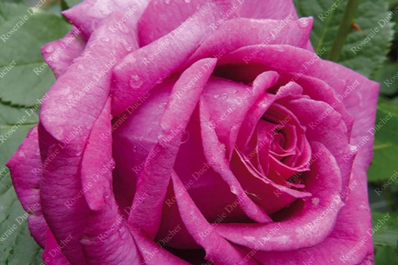 Shrub rose creation La Cle de la Rose ®