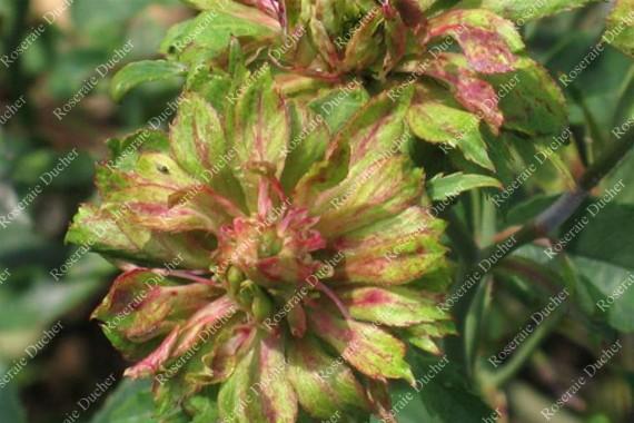 Shrub rose Rosa Viridiflora