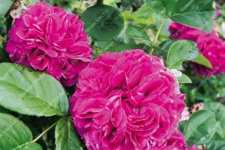Shrub rose Rose de Rescht