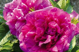 Shrub rose Roseraie de l'Hay